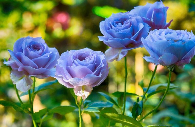 Nằm mơ thấy hoa hồng đánh con gì để trúng lớn?